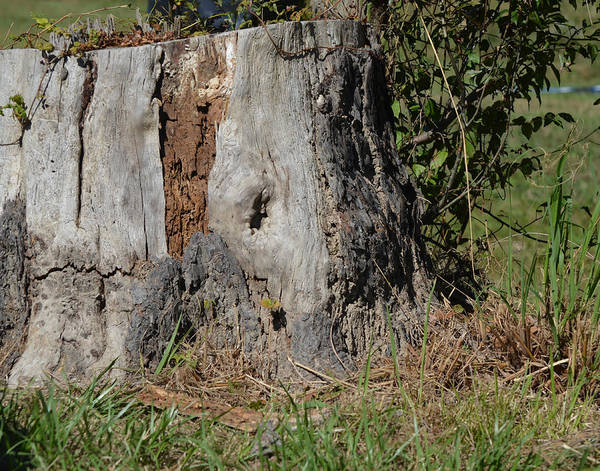 Photograph - Old Tree by Maggy Marsh