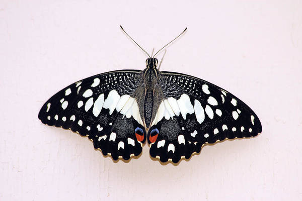Insect Photograph - Old World Swallowtail Butterfly by Raj Kamal