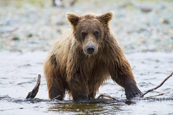 Photograph - Older Brown Bear Cub In Water by Dan Friend