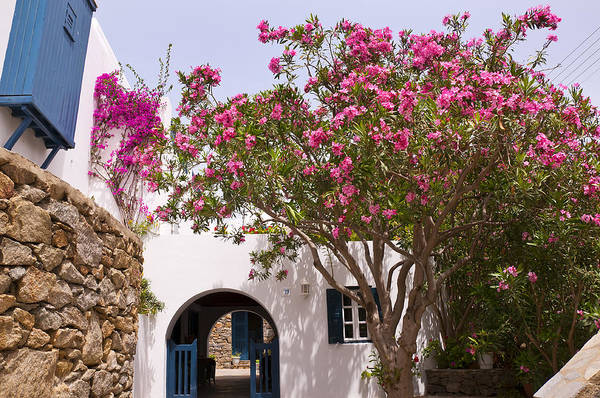 Photograph - Oleander In The Streets Of Mykonos Greece by Brenda Kean