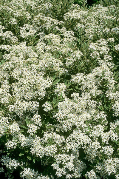 Wall Art - Photograph - Olearia X Oleifolia by Geoff Kidd/science Photo Library
