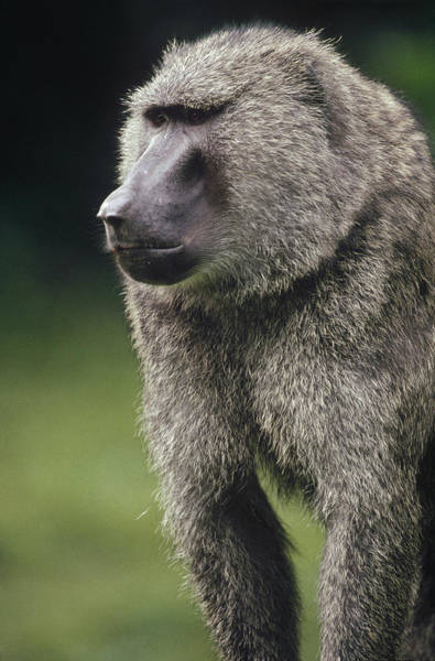 Gombe National Park Wall Art - Photograph - Olive Baboon Male Portrait Gombe Stream by Gerry Ellis