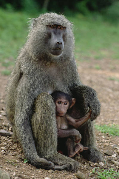 Gombe National Park Wall Art - Photograph - Olive Baboon With Infant Gombe Stream by Gerry Ellis