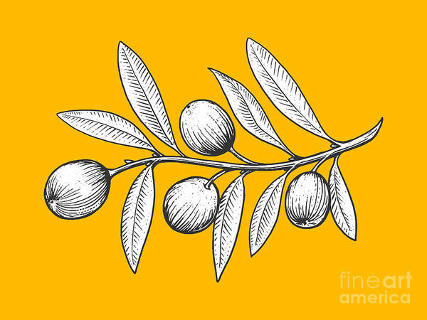 Plant Digital Art - Olive Branch Engraving Style Vector by Alexander p