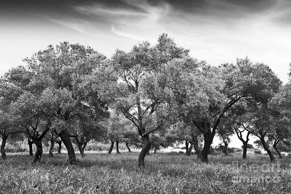 Olives Photograph - Olive Grove by Delphimages Photo Creations