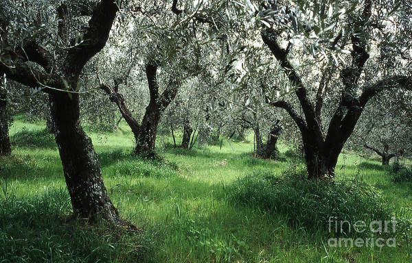 Photograph - Olive Grove by Heiko Koehrer-Wagner