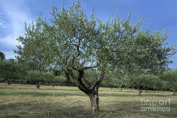 Olives Photograph - Olive Tree by Bernard Jaubert