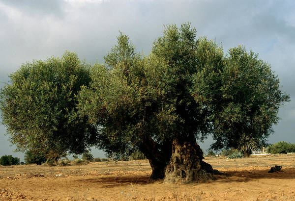 Tunisia Wall Art - Photograph - Olive Tree by M F Merlet/science Photo Library