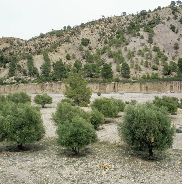 Er Photograph - Olive Trees by Mark De Fraeye/science Photo Library