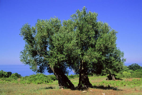 Fruit Trees Wall Art - Photograph - Olive Trees (olea Europaea) by Bruno Petriglia/science Photo Library