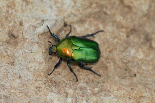 Angiosperms Wall Art - Photograph - Olivegreen Flower Chafer by Photostock-israel