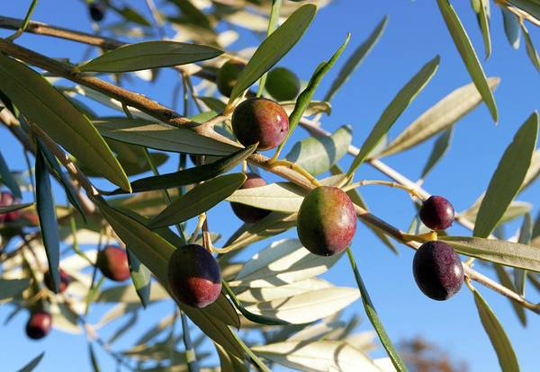 Wall Art - Photograph - Olives (olea Europaea) On A Tree by Dr Juerg Alean/science Photo Library