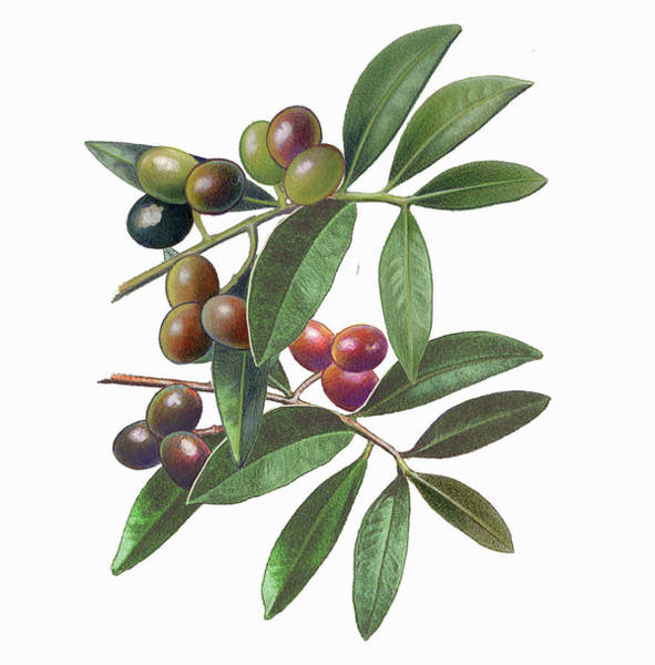 Wall Art - Photograph - Olives On Branch by Ikon Ikon Images