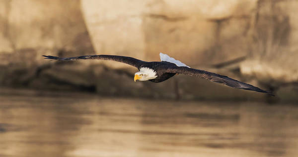 Eagle In Flight Photograph - On A Fishing Run by Angie Vogel