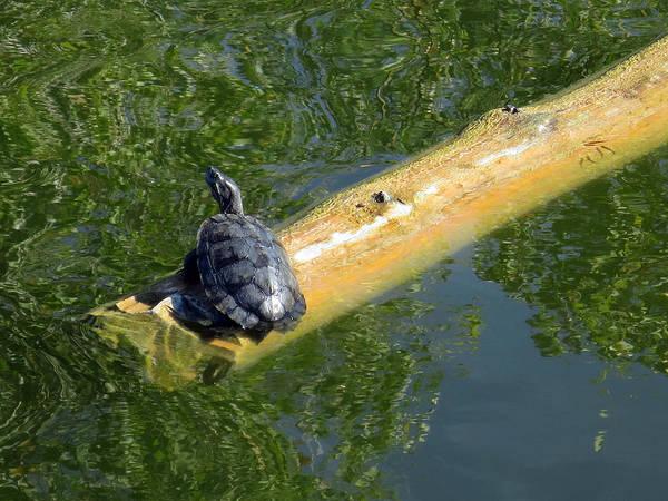 Photograph - On A Reflective Pond by Rick Locke