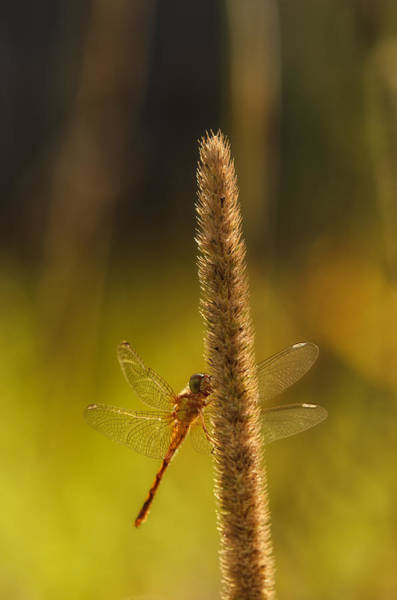 Dragonflies Photograph - On A Summer Morning by Susan Capuano