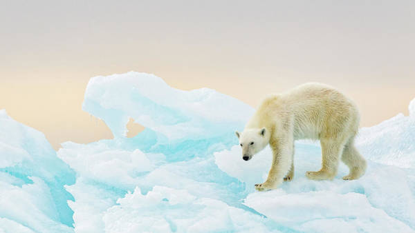 Polar Bear Photograph - On Ice by Joan Gil Raga