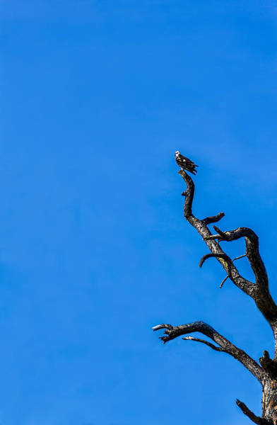 Ospreys Photograph - On Point by Marvin Spates