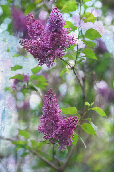 Lilac Photograph - On The Bush by Rebecca Cozart