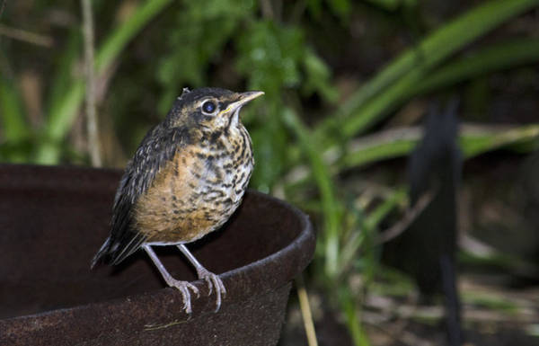 Photograph - On The Fire Pot-fledging Robin by Wade Clark