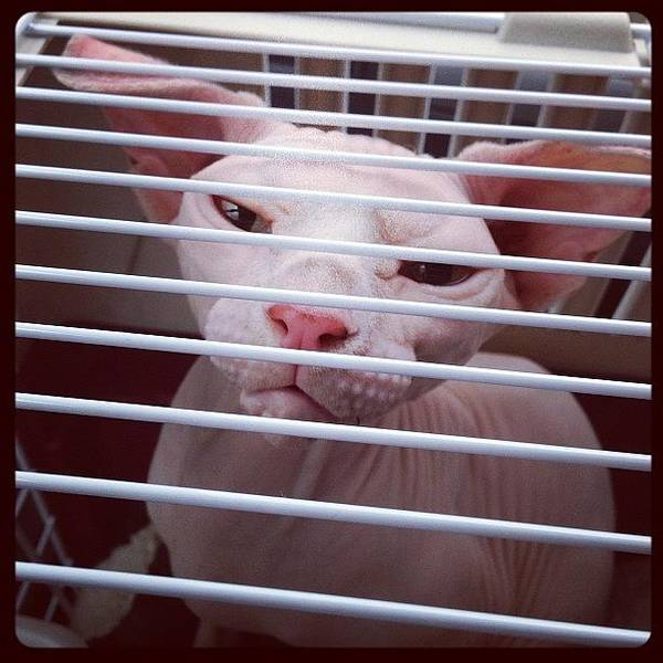 Charity Wall Art - Photograph - On Trip To My New Home :) #sphynx by Samantha Charity Hall
