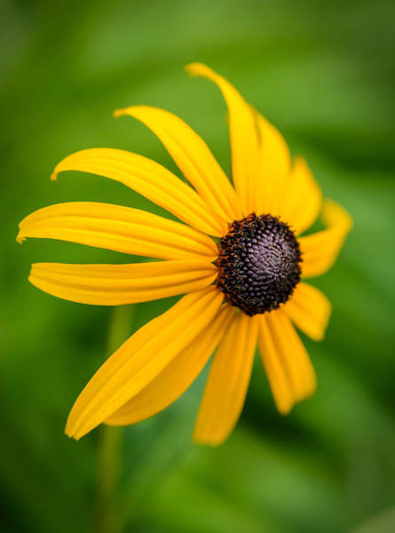Photograph - One Black Eyed Susan by Robert Mitchell