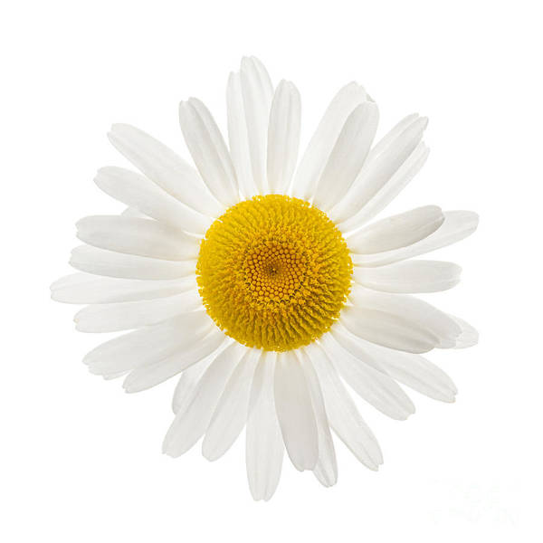 Wall Art - Photograph - One Daisy Flower by Elena Elisseeva