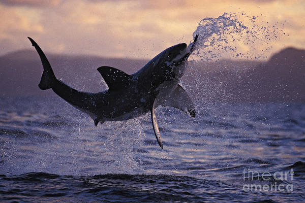 Jumping Photograph - One Great White Shark Jumping Out Of Ocean In An Attack At Dusk by Brandon Cole