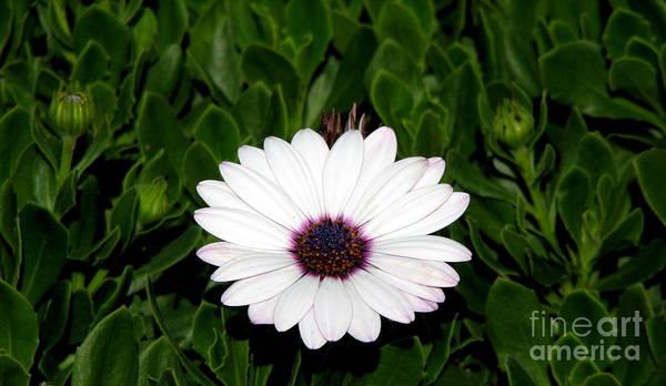 Photograph - One Hit Wonder Gerbera Daisy by Rose Santuci-Sofranko