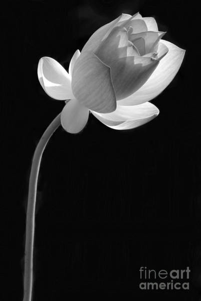 Photograph - One Lotus Bud by Sabrina L Ryan