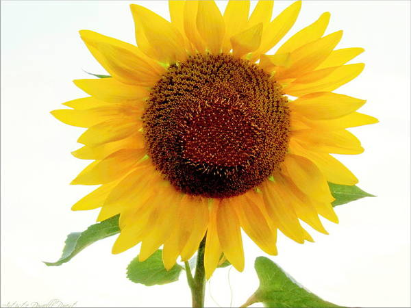 Photograph - One Of A Kind Sunflower by Danielle  Parent