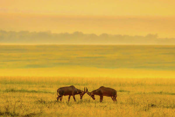 Antelope Photograph - One On One by John Fan