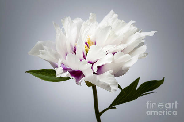 Photograph - One Peony Flower by Elena Elisseeva