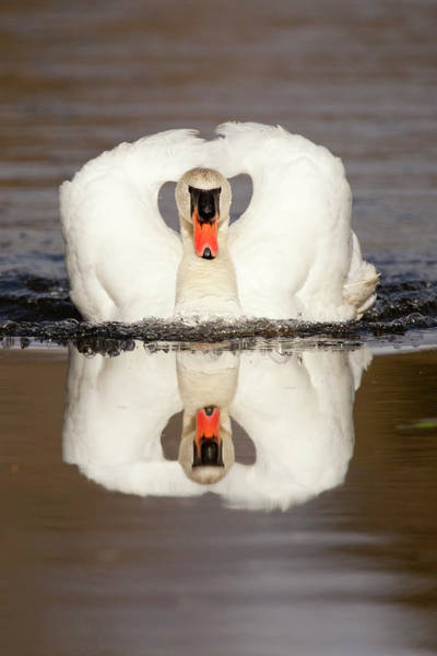 Conn Wall Art - Photograph - One Swan Swimming by Carl D. Walsh
