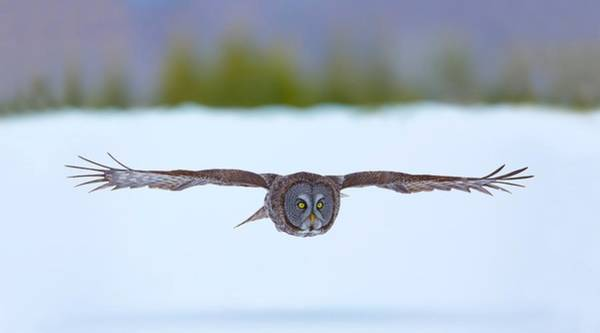 Photograph - On The Hunt - Great Gray Owl by Dale J Martin