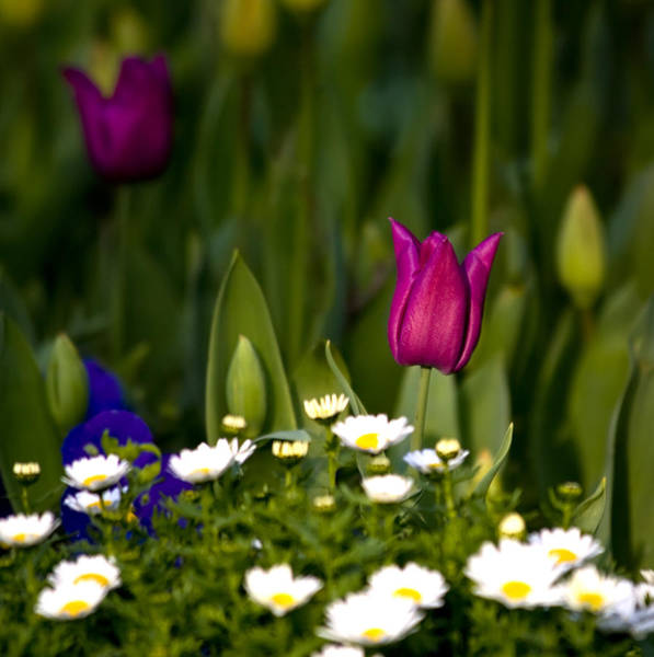 Oneness Photograph - One Tulip Among A Daisy Hill by Leyla Ismet