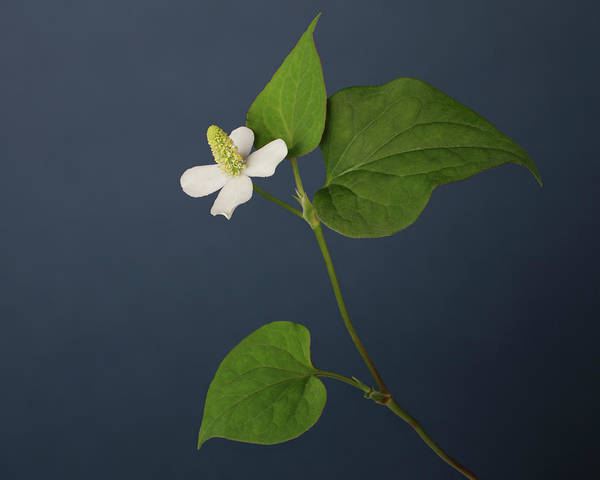 Fragility Photograph - One White Flower, Four Petals, Three by A.t. White
