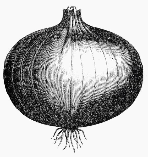 Vegies Photograph - Onion (illustration) by Foodcollection