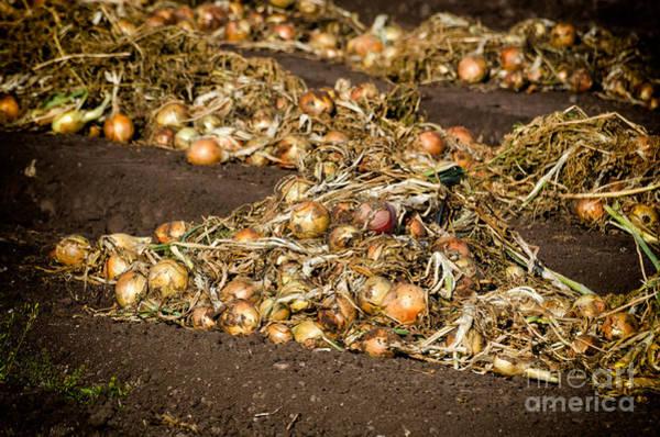 Photograph - Onions by Les Palenik