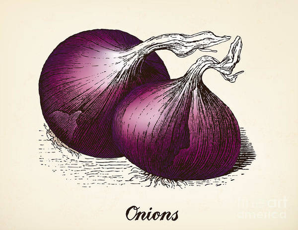 Wall Art - Digital Art - Onions Vintage Illustration, Red Onions by Oliver Hoffmann