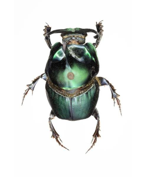 Coleoptera Wall Art - Photograph - Onthophagus Dung Beetle by Lawrence Lawry