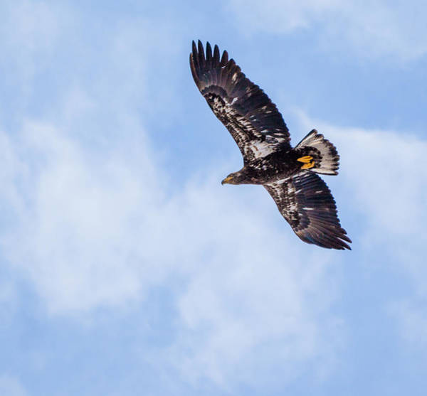 Flying Eagle Photograph - Open Skies by Aaron Aldrich