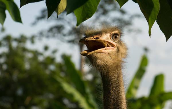 Photograph - Opinionated Ostrich  by Georgia Mizuleva