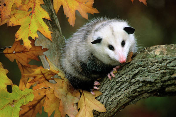 Wall Art - Photograph - Opossum In Tree by Animal Images