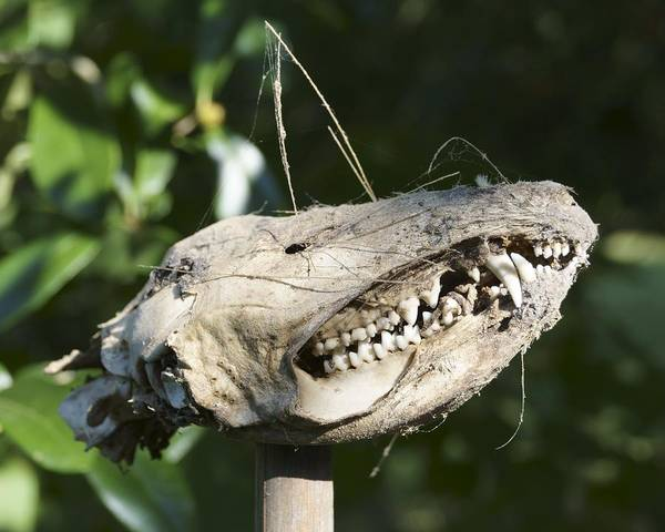 Photograph - Opossum Skull On A Stake by MM Anderson