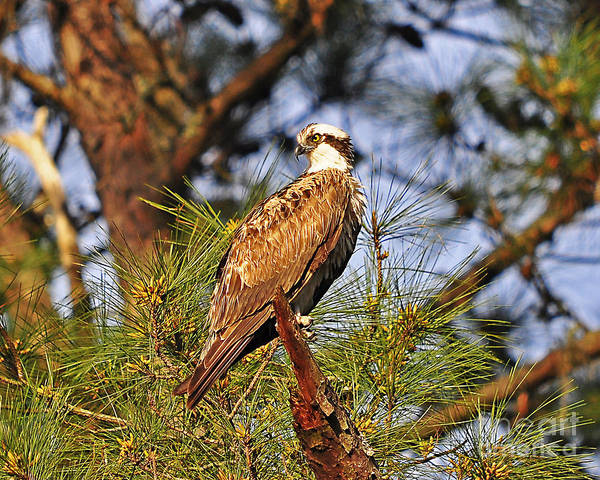 Falconiformes Photograph - Opulent Osprey by Al Powell Photography USA