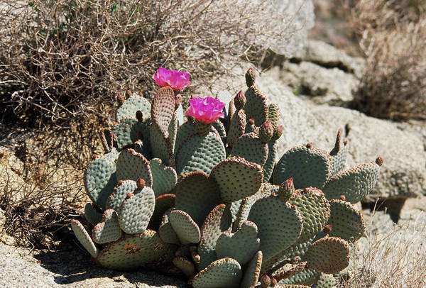 Opuntia Photograph - Opuntia Basilaris by Derrick Ditchburn/science Photo Library