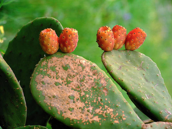 Opuntia Photograph - Opuntia Ficus-indica by Bjorn Svensson/science Photo Library