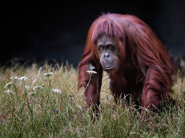 Grass Photograph - Orang-utan With Butterfly. by Hugh Wilkinson
