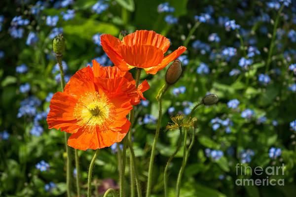 Wall Art - Photograph - Orange And Blue - Beautiful Spring Orange Poppy Flowers In Bloom. by Jamie Pham